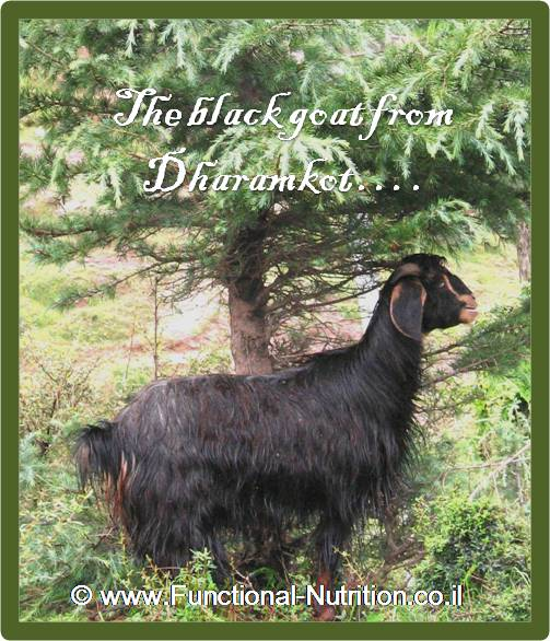 the black goat from dharamkot